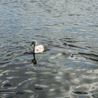 Лебеди :: Alex