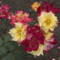 Розы из Долины роз :: Наталья Мясникова