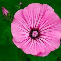 Красивый розовый цветок :: Анатолий Клепешнёв