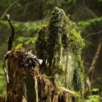 Лесной сторож :: Андрей Качин