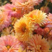 Отцвели уж давно хризантемы в саду... :: Галина Стрельченя