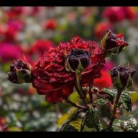 Роза :: Nn semonov_nn