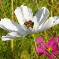 Пчелка - лакомка :: Lüdmila Bosova