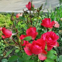 Июльские розы... :: Тамара (st.tamara)