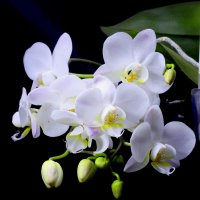 Орхидея :: Денис Матвеев