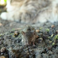 Мышка :: Ольга Нестерук