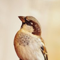 Monsieur Sparrow. :: aWa