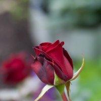 Роза :: Евгений Мельников