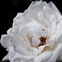 Белая роза с мушкой... :: Ирина Терентьева