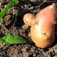 Крошка - картошка. :: Маргарита ( Марта ) Дрожжина