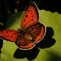"""бабочка с интересным названием """"червонец огненный"""" :: Алена Рыжова"""