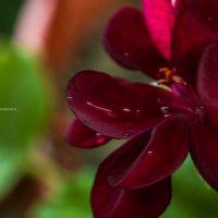 Цветы :: Алексей Сулименко