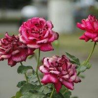 Красивые розы :: esadesign Егерев