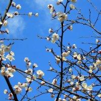 А у нас во дворе абрикосы цветут. :: Валентина ツ ღ✿ღ