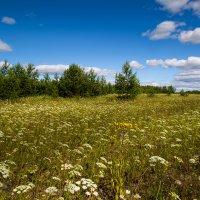 Полевые цветы :: Sergey Apinis