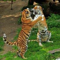 Тигриные развлечения :: Alexander Andronik