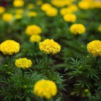 жовті квіти :: МищЪя Бульбо