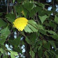 Натуральный блондин... на всю листву такой один! :: juriy luskin