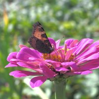 Испить ароматного нектара :: Нина северянка