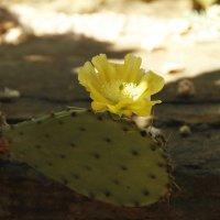 И на кактусах цветы... :: esadesign Егерев