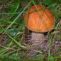 Вот он гриб... :: Любовь Чунарёва