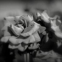 ...розы... :: Влада Ветрова