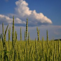 пшеничка :: Светлана