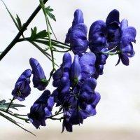 эти синие цветы :: валя