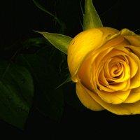 Роза и Роза :: Ivars RuSto