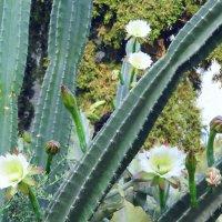 Кактус цветёт. :: Валерьян