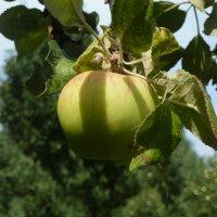 Созревают яблоки :: Валюша Черкасова