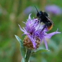 Пчелка :: Александра Юхник