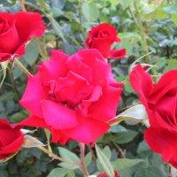 Прекрасные,красные... :: Тамара (st.tamara)