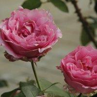 Розы из Пощупово :: esadesign Егерев