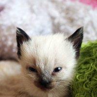 Сиамский котенок) :: Nadezhda Ulitina