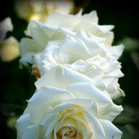 белые розы :: Na2a6a N