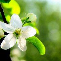 Нежность весны :: Ирина Фирсова