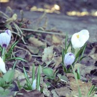 Первые весенние цветы :: Виктория Шапошникова