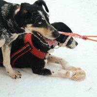 Гонки на собачьих упряжках :: Виктория Шапошникова