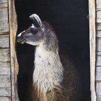 Белгород зоопарк Лама :: Василий Платонов