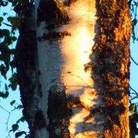 Тёмная и светлая сторона берёзы :: Фотогруппа Весна.