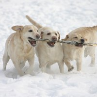 snow dogs :: Eugenia Jirina