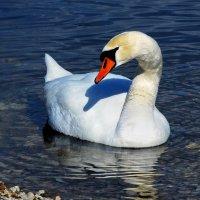 лебедь :: linnud
