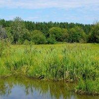 Камыши на болоте :: Ольга