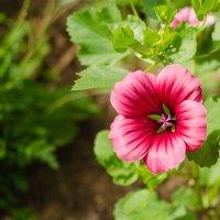 Цветы №16 :: Сергей Анисимов