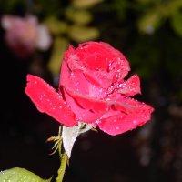 Роза :: Дарья Неживая