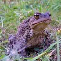 """Самец жабы на охоте: """" у меня глаза такие большие, чтобы тебя, комарик, разглядеть"""". :: Александр Володарский"""