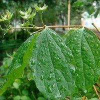 Великое благо - июньские дожди :: Нина Корешкова