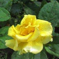 Жёлтая роза - эмблема печали ? ! )) :: Мила Бовкун