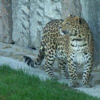 Амурский леопард :: muh5257